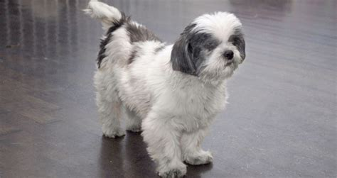 shih tzu weight how much weight a shih tzu pictures to pin on pinsdaddy