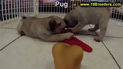 puppies for sale in idaho falls pug puppies for sale in boise city idaho id rexburg post falls lewiston