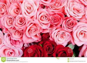Pink And Red Roses Pink And Red Roses Royalty Free Stock Photography Image 34537907
