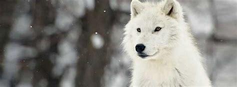 couverture loup blanc photo et image couverture