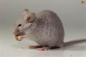 what do mice eat pets4homes