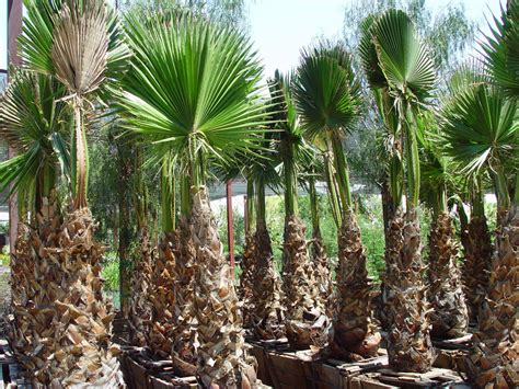 planting fan palm trees trees 183 cacti landscapes las vegas
