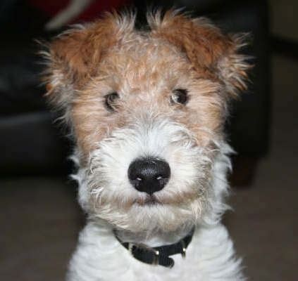 types of terrier dogs list of different types of fox terrier breeds