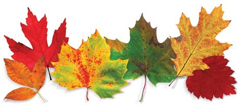 thanksgiving leaves clipart clipart suggest