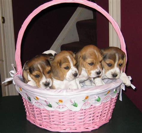 beagle puppies ta welpen beagle in 246 sterreich z 252 chter beagle kaufen verkaufen welpen kaufen beagle