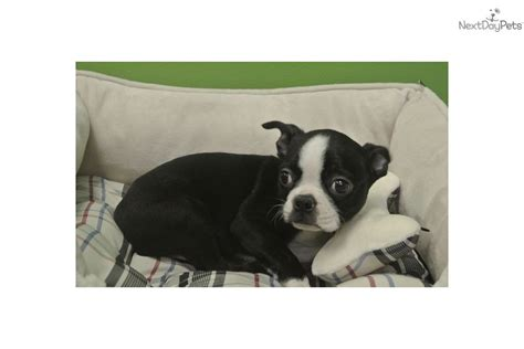 boston terrier puppies jacksonville fl pictures