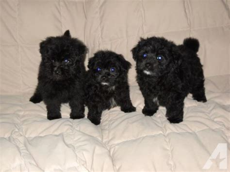 pomapoo puppies for sale pomapoo puppies for sale for sale in jackson kentucky classified americanlisted