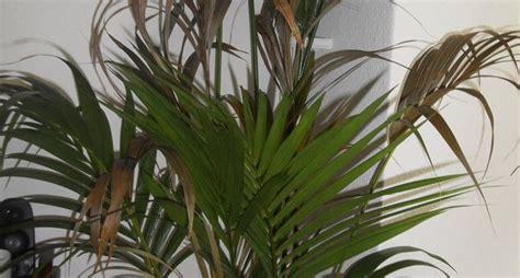kentia pianta da appartamento kenzia piante appartamento la maestosit 224 della kenzia