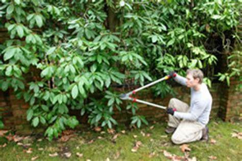 rhododendron winterfest machen garten rhododendron pflege 220 berwintern und schneiden