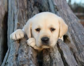 Lab Puppies Labrador Retreivers Images Lab Puppy In Driftwood