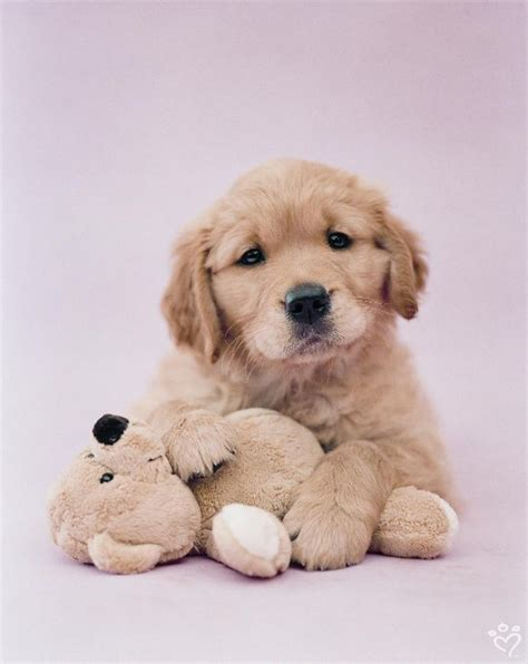 teddy golden retriever 17 best images about rachael hale on pets puppys and kittens