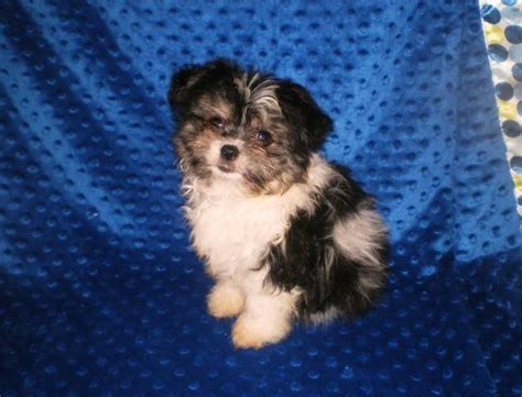 pomeranian breeders in michigan ricerche correlate a terrier puppies pets world