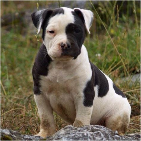 catahoula bulldog puppies catahoula bulldog breeders puppies pictures facts lifespan personality
