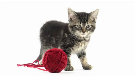 Cute Baby Tabby American Shorthair Kitten Playing With A