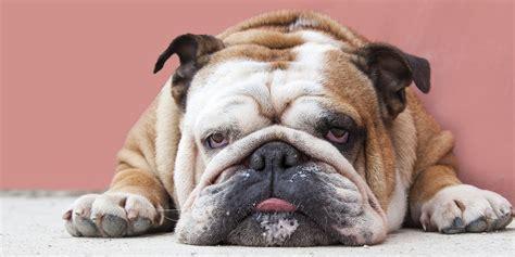 laziest dog breeds insider