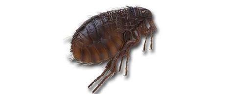 can fleas kill a baking soda does it really kill fleas