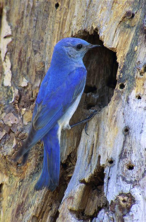 hinterland who s who mountain bluebird