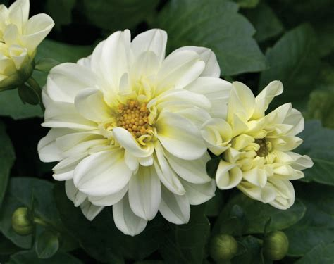 the questionable behavior of dahlia moss a dahlia moss mystery books dalina 174 midi bounty dahlia hybrid proven winners