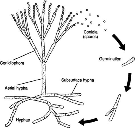 fungi diagram fungal structures