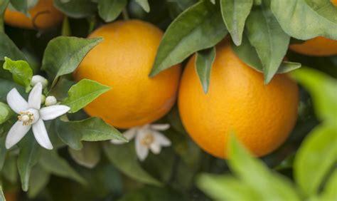 fiori d arancio profumo liguria profumo di fiori d arancio a vallebona