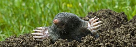 Schädlinge Im Rasen 3129 by Ameisennester Im Rasen Hausmittel Gegen Ameisen Im Garten