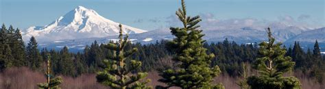 christmas tree farms near mt hood comes from mt territory oregon s mt territory