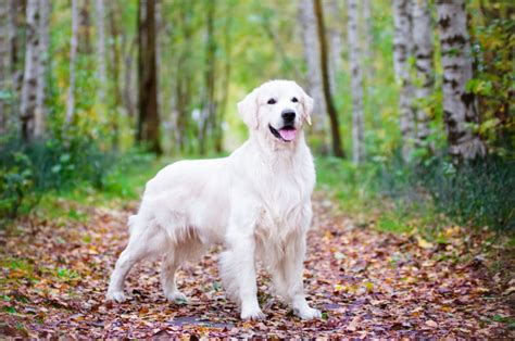 golden retriever iq 25 golden retriever facts petbreeds