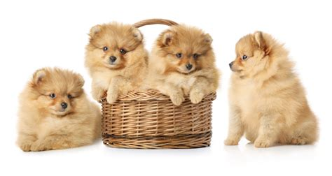 how do pomeranians live in human years 10 best small breeds for families puppy lover news page 5