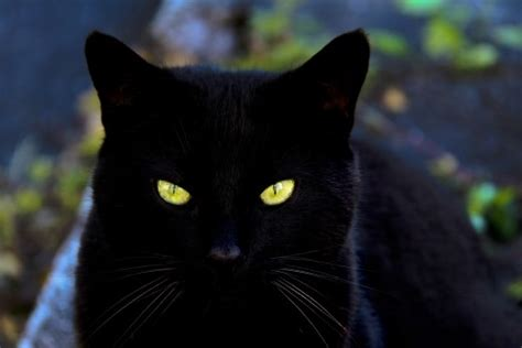 black xat what are the best names for black cats pethelpful