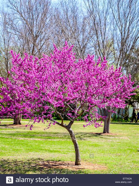 redbud tree an eastern redbud tree in spring bloom stock photo