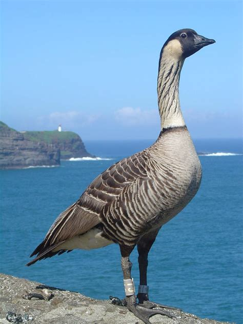 list of birds of hawaii wikipedia