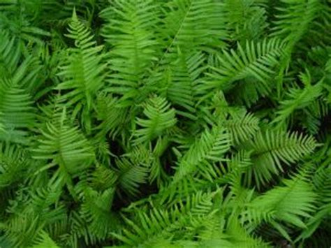 grow wood ferns garden guides