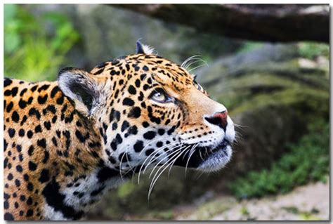 jaguar themes for windows 8 1 windows 7 jaguar theme featuring 10 most awesome jaguar