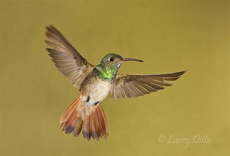 how to attract hummingbirds to your garden natural