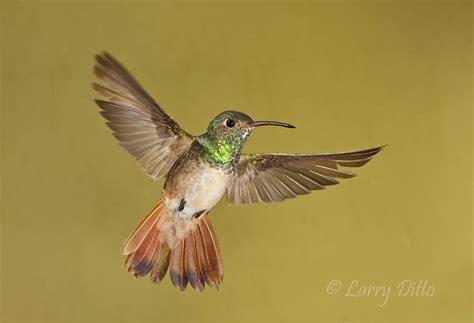 sparkly ladies attracting hummingbirds to your garden