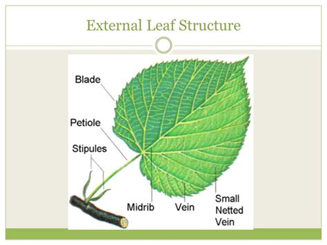 tree and leaf diagram tree leaf diagram best free home design idea