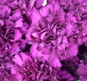 Carnations carnations sunglow flowers