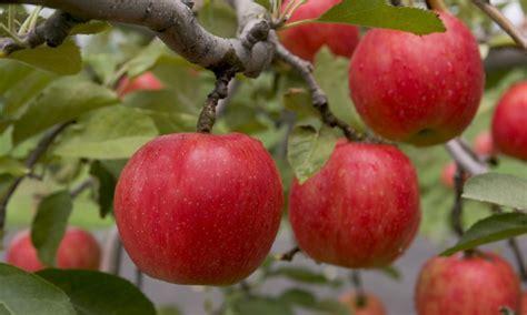 apple x japan aomori s apples aptinet aomori sightseeing guide