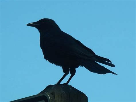 crows black bird and silhouette on pinterest