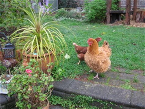 backyard chooks backyard chickens