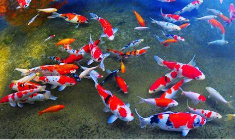 Benih Ikan Koi Malaysia budidaya ikan koi pt nusantara