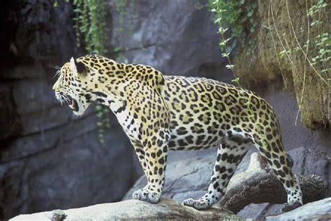 south american jaguar facts unique facts about south central america jaguar