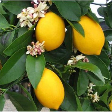meyer lemon tree 200mm meyer lemon tree gardening nature