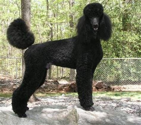standard poodle face hair cuts 17 best ideas about black standard poodle on pinterest