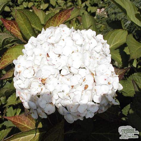 buy hydrangea macrophylla madame emile mouillere