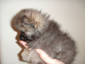 teacup pomeranian puppies for sale in arizona pomeranian puppies for sale 2 lbs fully grown tiny micro teacup pomeranian