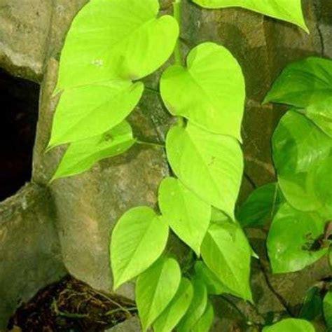 Bibit Tanaman Hias Sirih jual bibit unggul tanaman sirih kuning betel bibit
