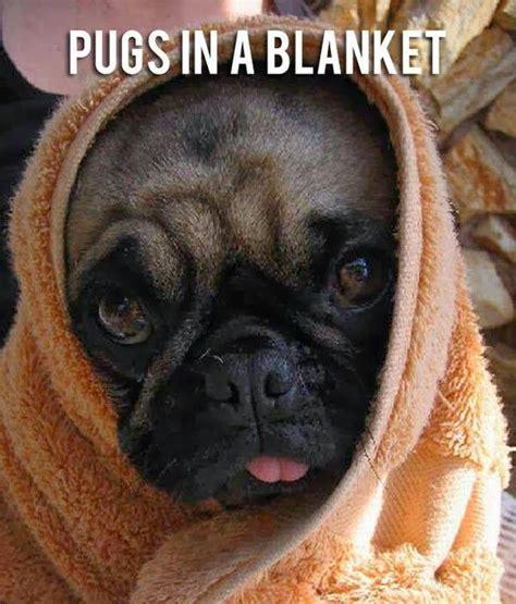 pug in a blanket pugs in a blanket hug a pug