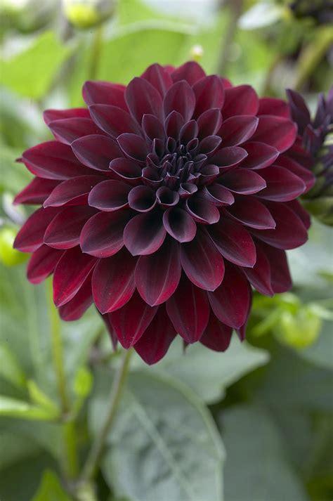 dahlia dahlia sp ronaldo variety flower photograph by visionspictures