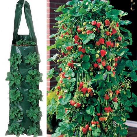 parks whopper strawberry plants  growin bags  park seed